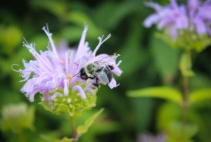 purple bee (1 of 1)