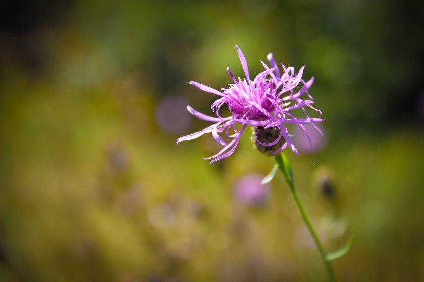 purple flower (1 of 1)