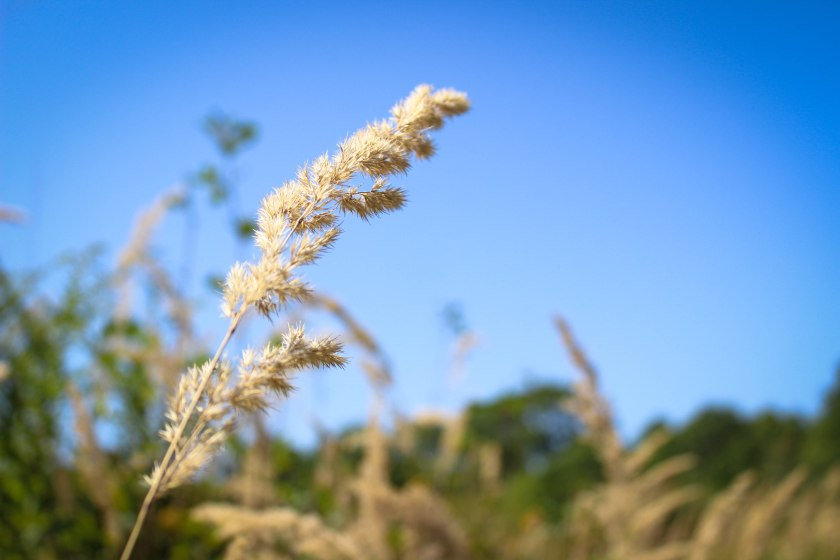 wheat (1 of 1)